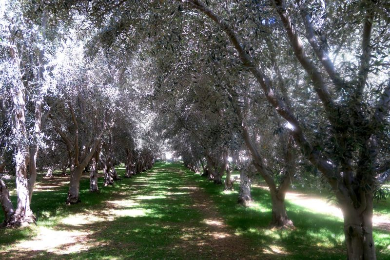 Olive groves, Temecula Valley, CA